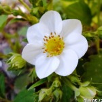 cvet. klubnika