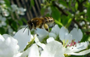 Пчёлка_