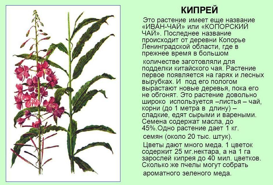 kiprey-ivan-chay