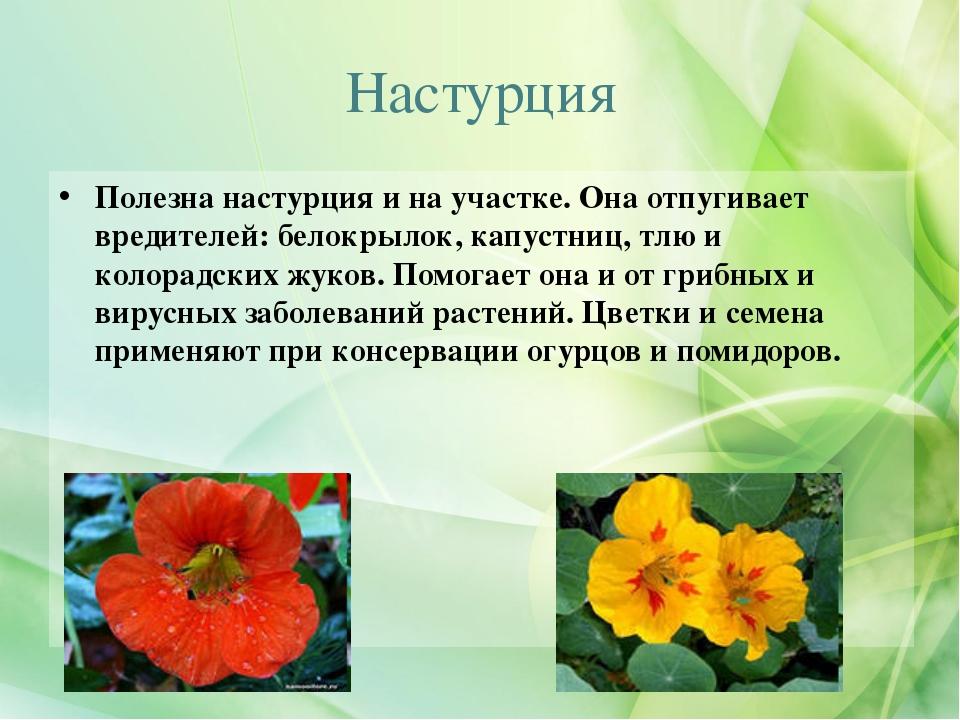 nasturtsiya_