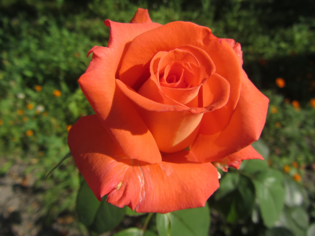 roza_-daryu